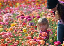 In Photos: Carlsbad Flower Fields